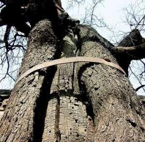 资讯生活西安共古树17469棵 拥有量居全国第一